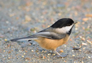 201412 burnlake chickadee
