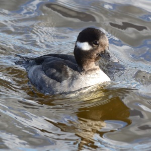 Bufflehead ~ female