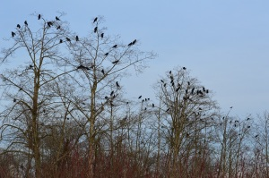 Trees full of crows