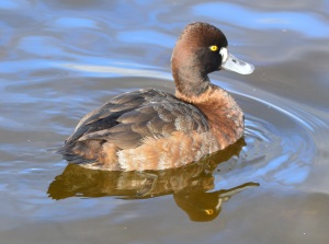 Lesser Scaup ~ female