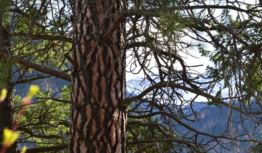Tree ~ Lillooet, BC ~ April 5, 2015