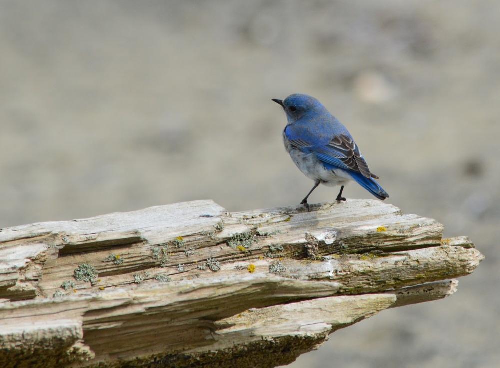 Mountain Bluebird ~ [Sialia Currucoides] ~ #19 (4/4)