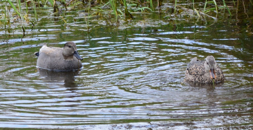 Gadwall male & female