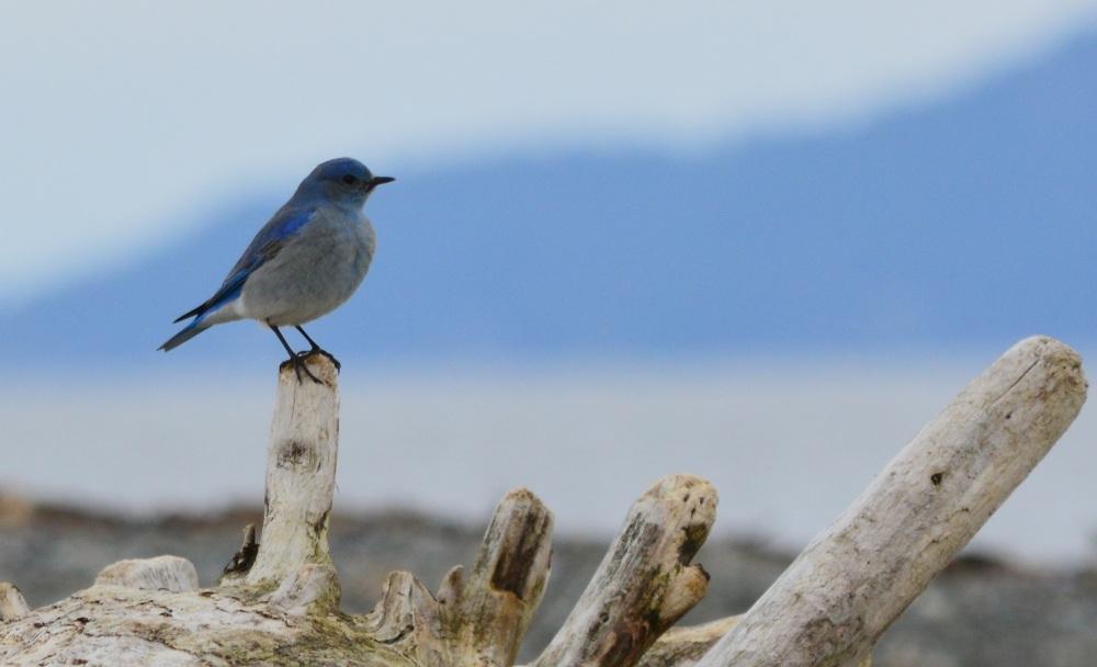 Mountain Bluebird ~ [Sialia Currucoides] ~ #19 (1/4)