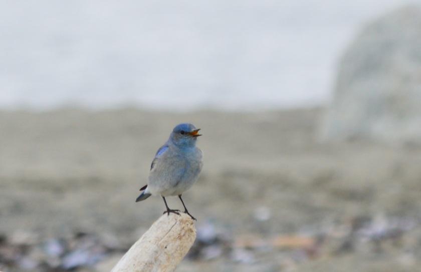 Mountain Bluebird ~ Spanish Banks ~ April 4, 2015