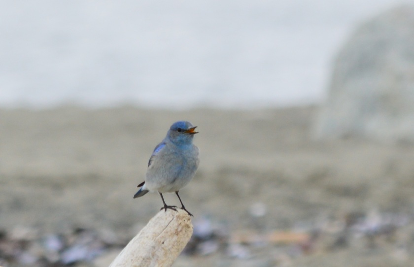 Mountain Bluebird ~ Spanish Banks ~ April 4, 2015