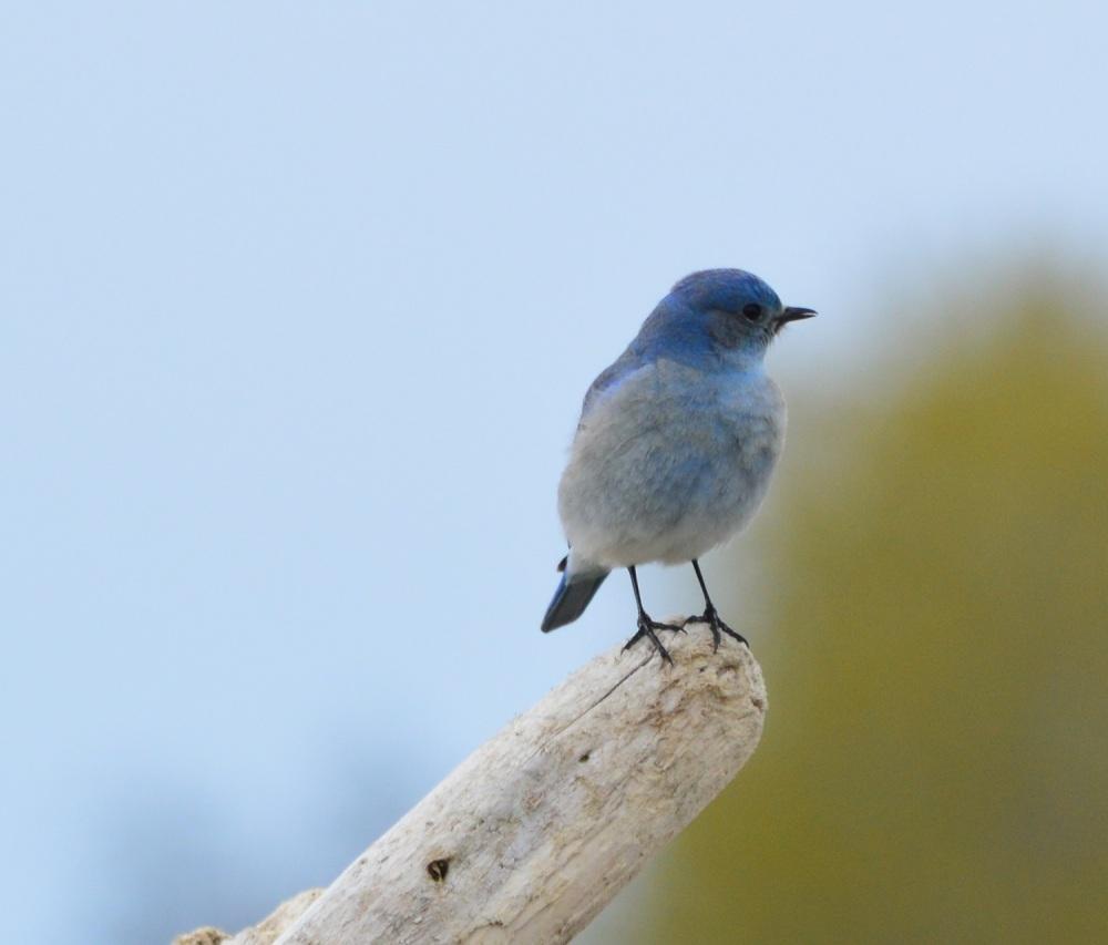 Mountain Bluebird ~ [Sialia Currucoides] ~ #19 (2/4)