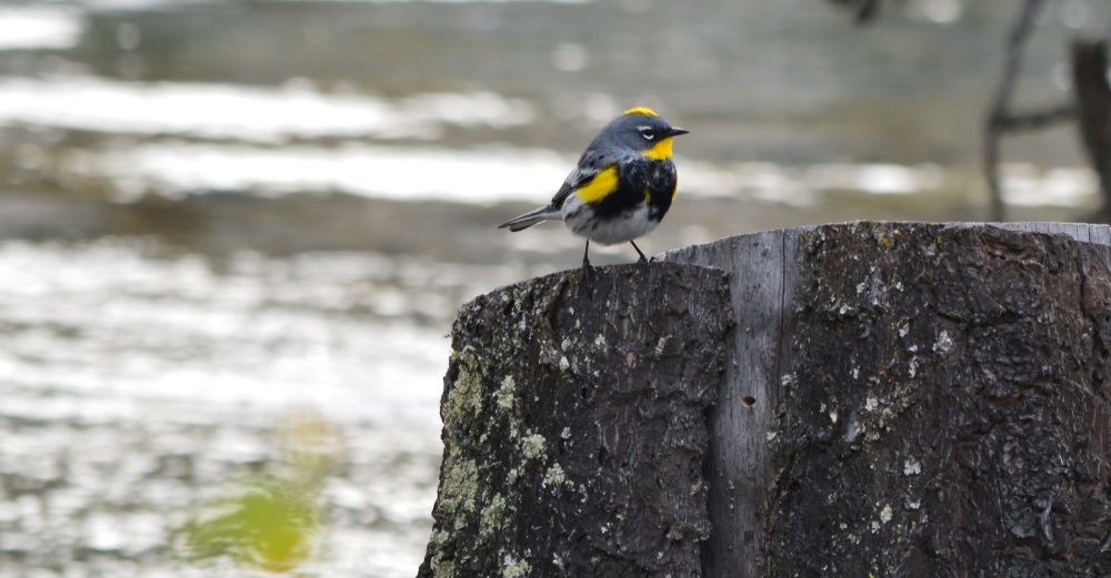 Yellow-rumped Warbler [Setophaga coronata] ~ #42 (3/3)