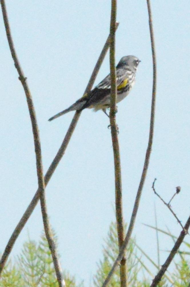 Yellow-rumped Warbler [Setophaga coronata] ~ #42 (2/3)