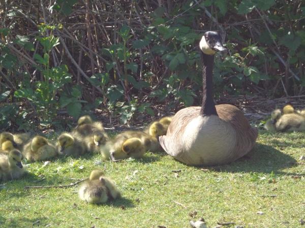 Goslings ~ Burnaby Lake ~ May 2, 2015 [taken w Sony DSC-W650]