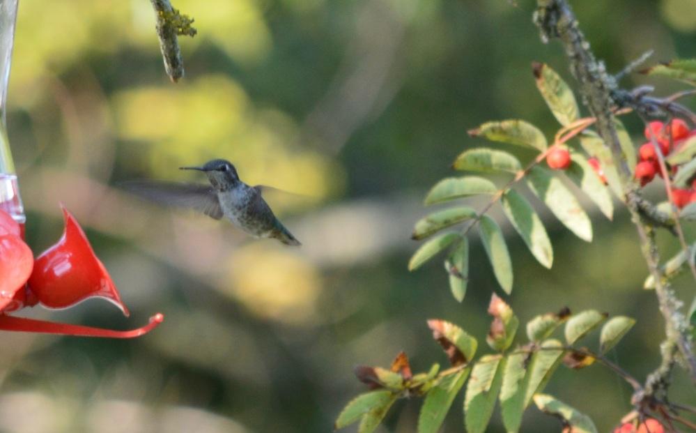 Anna's Hummingbird [Calypte anna] ~ #51 (3/3)