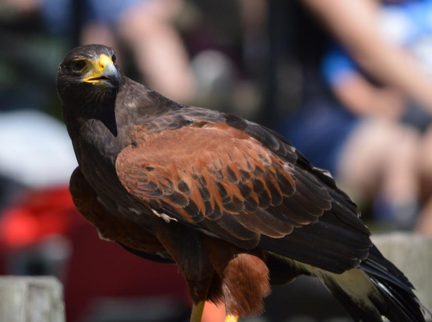 Caprice ~ Harris's Hawk