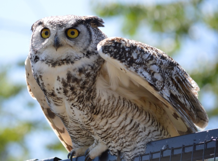 Hagrid ~ Great Horned Owl