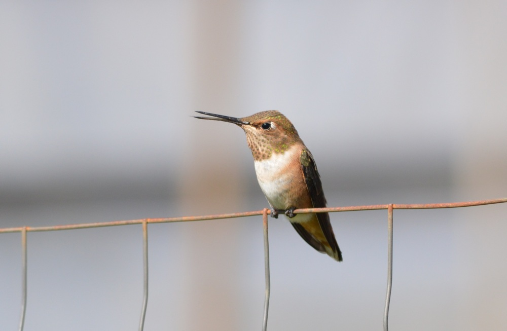 Rufous Hummingbird [Selasphorus rufus] ~ #53 (1/5)