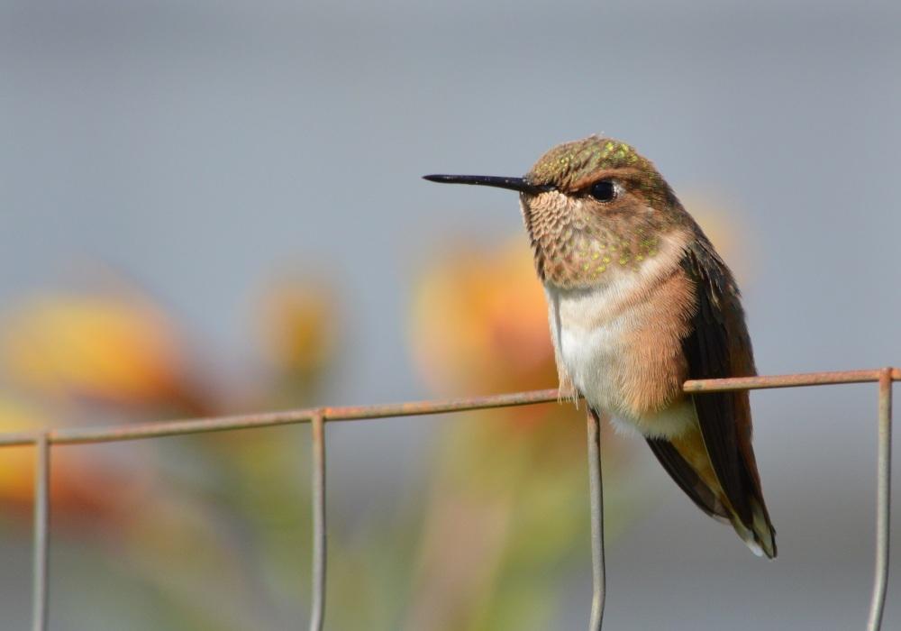 Rufous Hummingbird [Selasphorus rufus] ~ #53 (2/5)