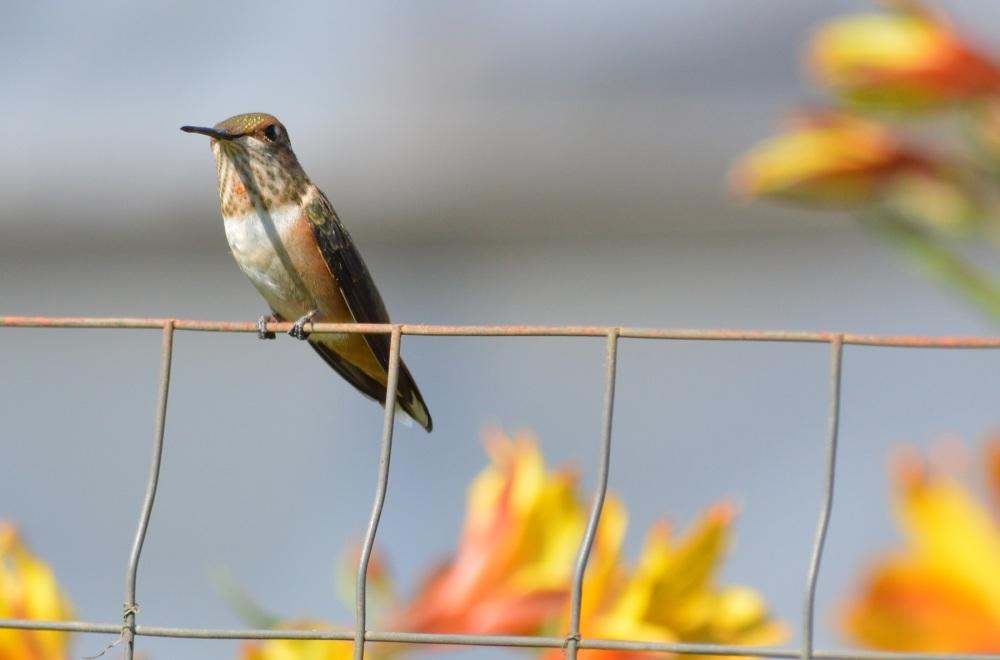 Rufous Hummingbird [Selasphorus rufus] ~ #53 (4/5)