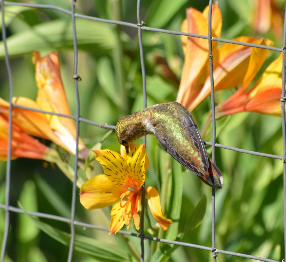 Rufous Hummingbird [Selasphorus rufus] ~ #53 (5/5)
