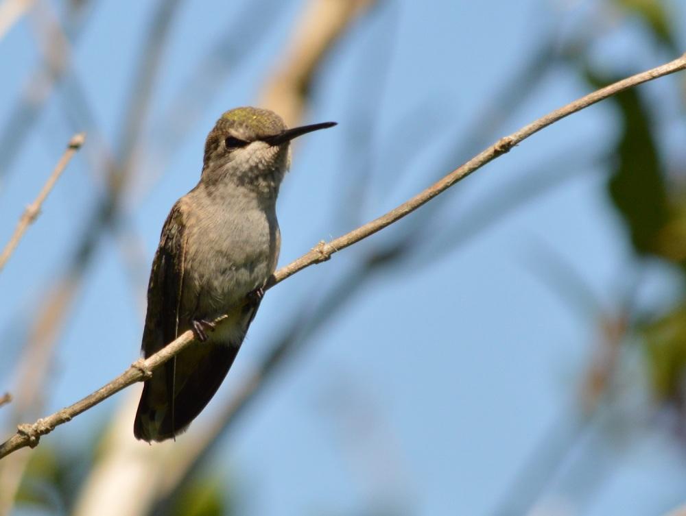 Anna's Hummingbird [Calypte anna] ~ #51 (2/3)