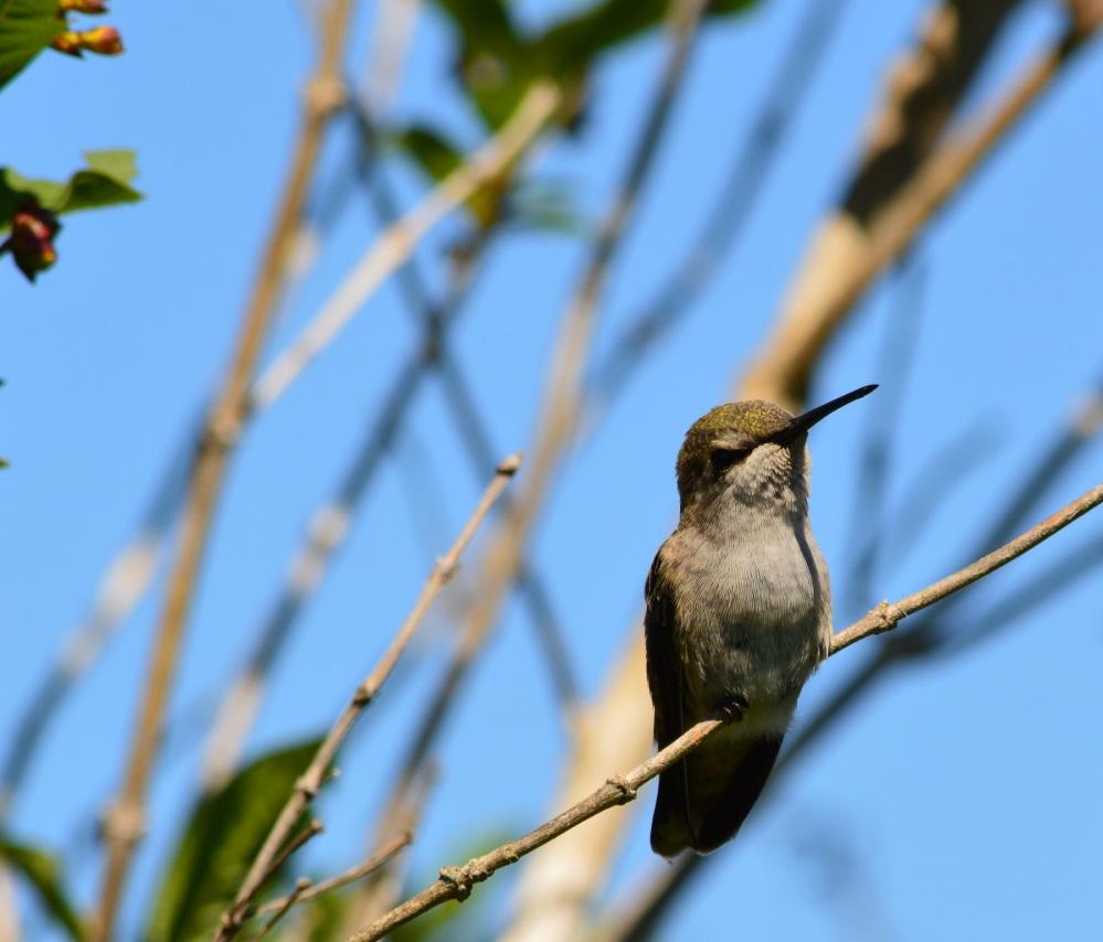 Anna's Hummingbird [Calypte anna] ~ #51 (1/3)