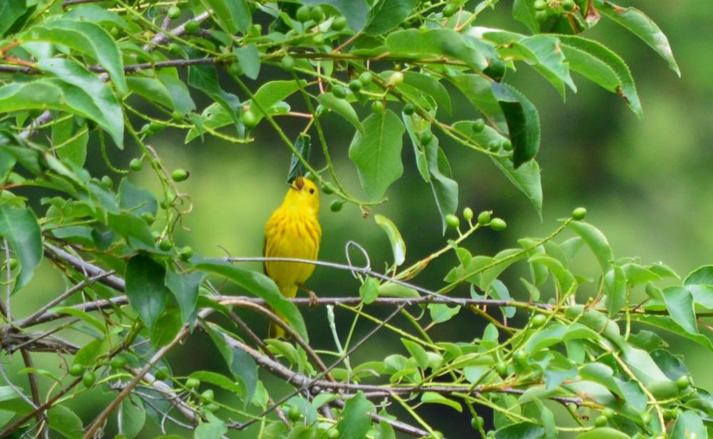 Yellow Warbler [Setophaga petechia] ~ #63 (3/3)