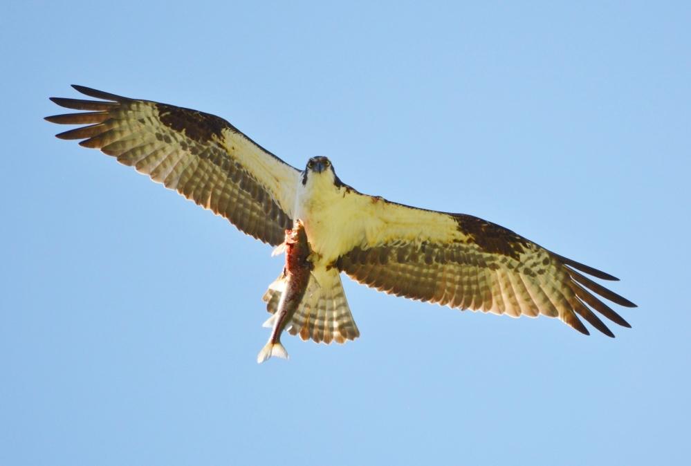 Osprey [Pandion haliaetus] ~ #61 (4/4)