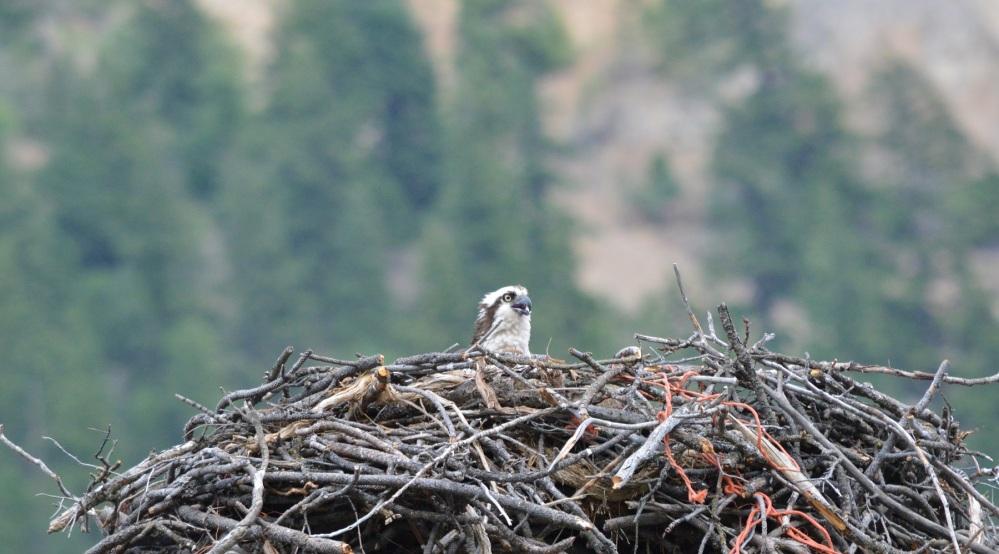 Osprey [Pandion haliaetus] ~ #61 (1/4)