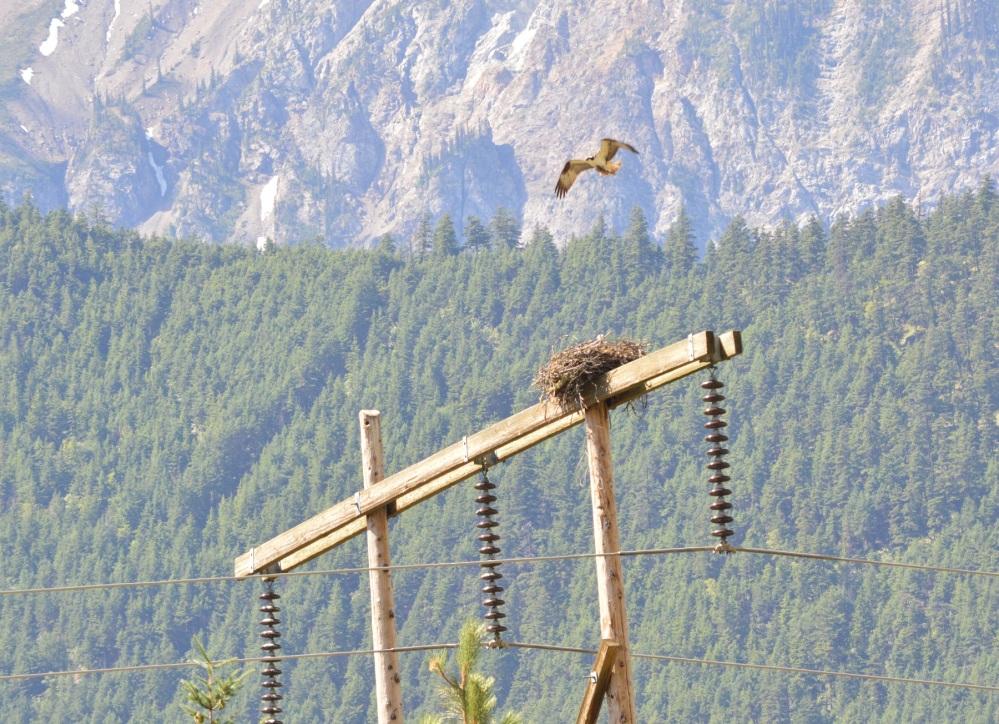 Osprey [Pandion haliaetus] ~ #61 (3/4)