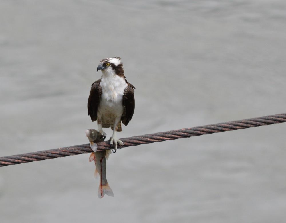 Osprey [Pandion haliaetus] ~ #61 (2/4)