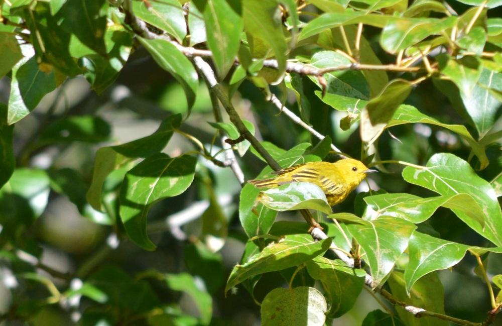 Yellow Warbler [Setophaga petechia] ~ #63 (1/3)