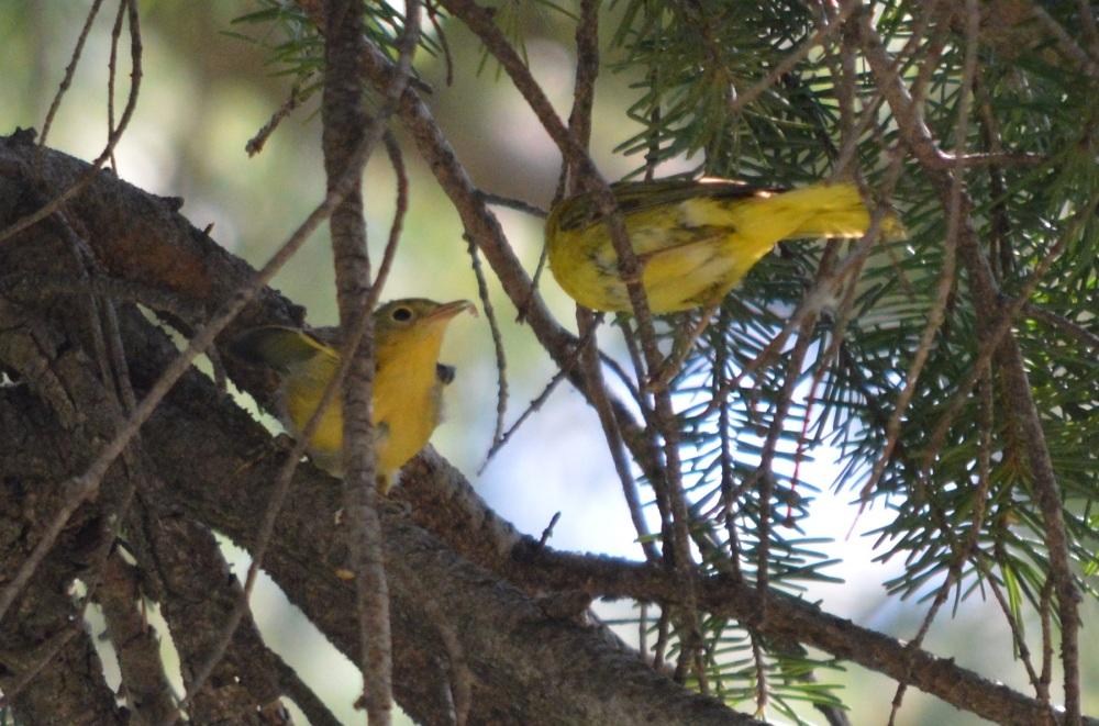 Yellow Warbler [Setophaga petechia] ~ #63 (2/3)