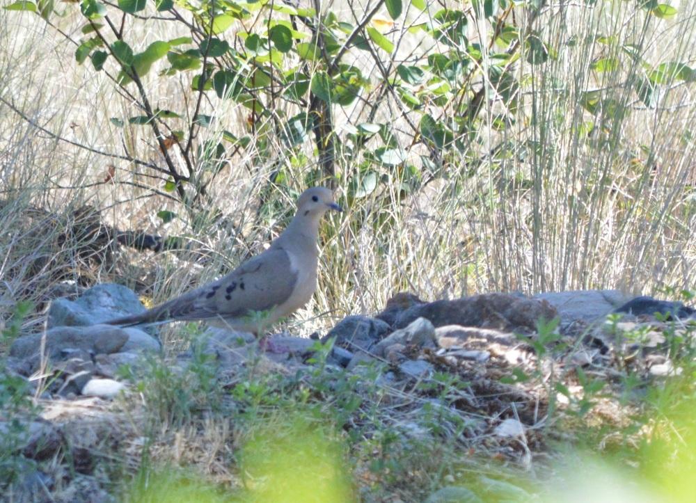 Mourning Dove [Zenaida macroura] ~ #64 (2/2)
