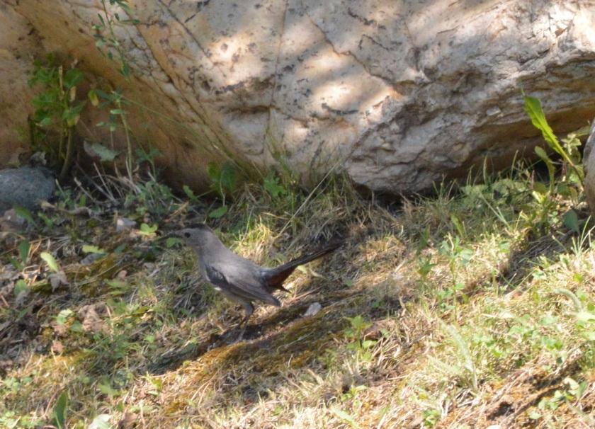 Gray Catbird ~ Lillooet, BC ~ July 4, 2015