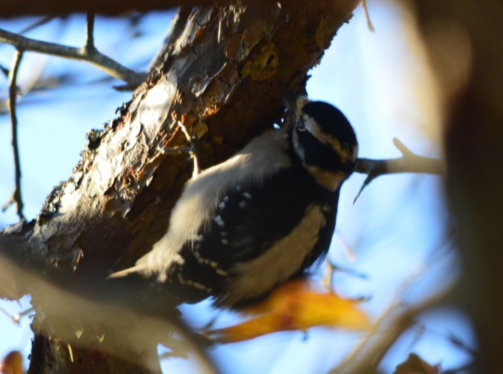 Downy Woodpecker ~ Reifel Bird Sanctuary, Delta, BC ~ November 2014