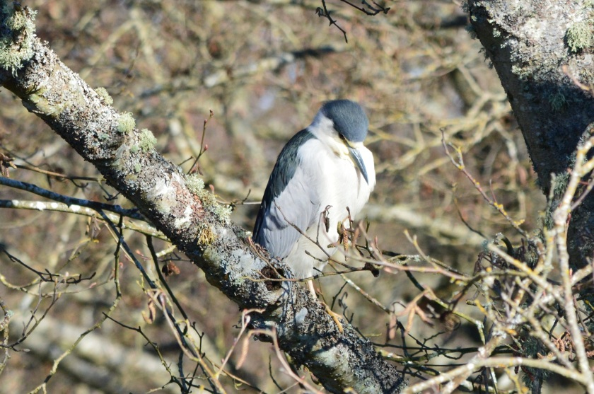 Black-crowned Night-Heron ~ Reifel Bird Sanctuary, Delta, BC ~ Feb 21, 2015