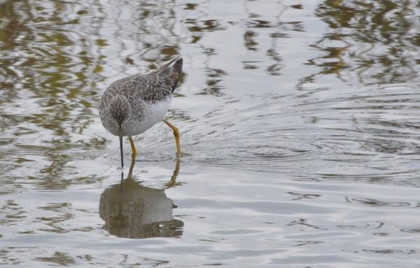 Greater Yellowlegs ~ Reifel Bird Sanctuary, Delta, BC ~ Sept 13, 2015