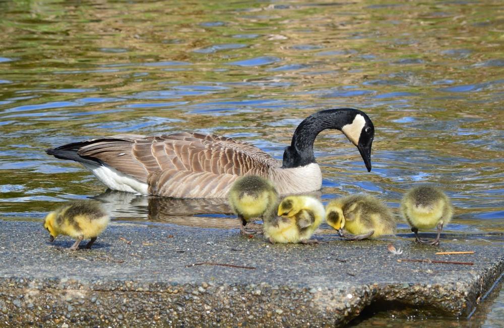 Canada Goose ~ Burnaby Lake, Burnaby, BC ~ April 2014