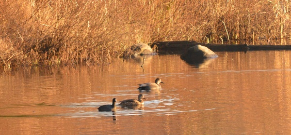 Gadwalls with a Coot