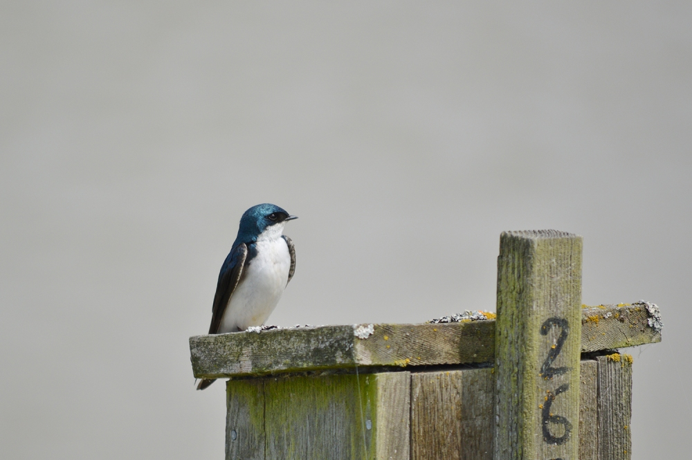 Tree Swallow ~ George C Reifel Bird Sanctuary, Delta, BC ~ May 14, 2016