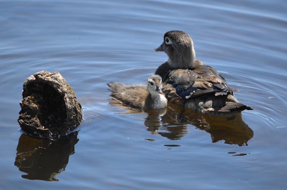 Wopd Duck ducklings