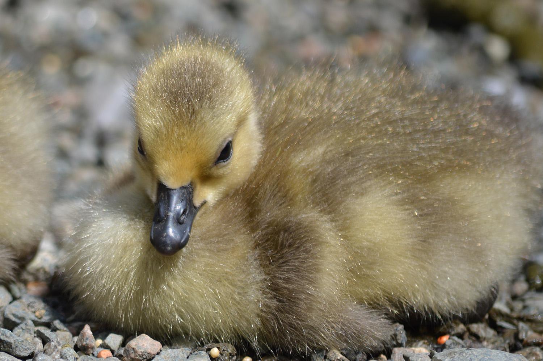 Ducklings and Goslings ~ 5 of 5 – BCSONGBIRD