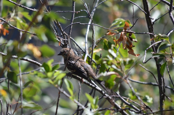 Young Towhee?