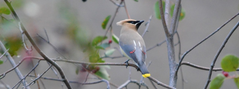 wp-201506-lil-waxwing
