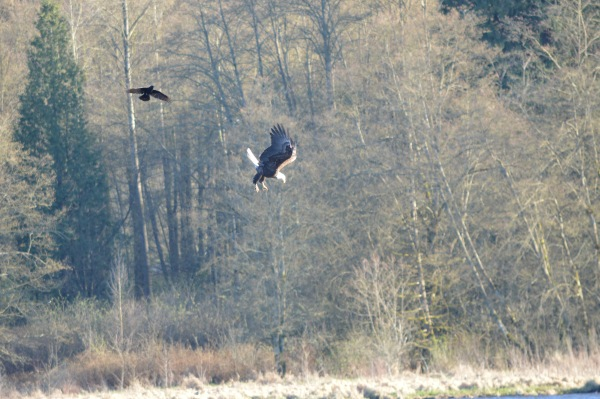 Bald Eagle and crow