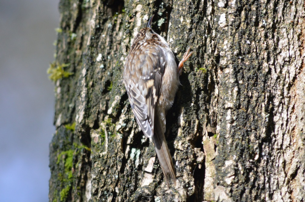 WP 201703 deerlake brown creeper 2