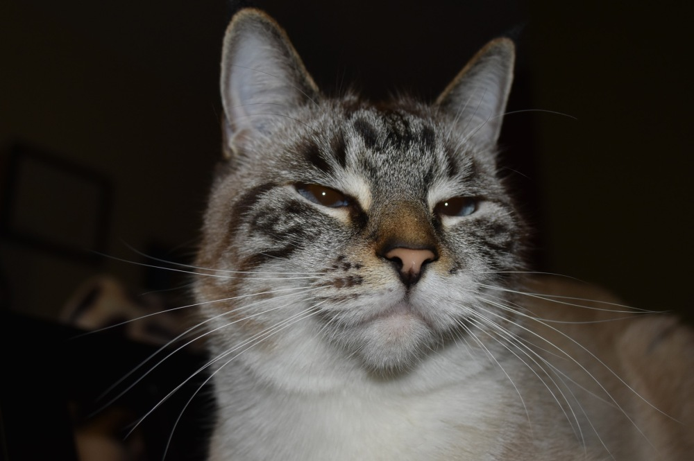 Rocky ~ tabby/siamese cross cat