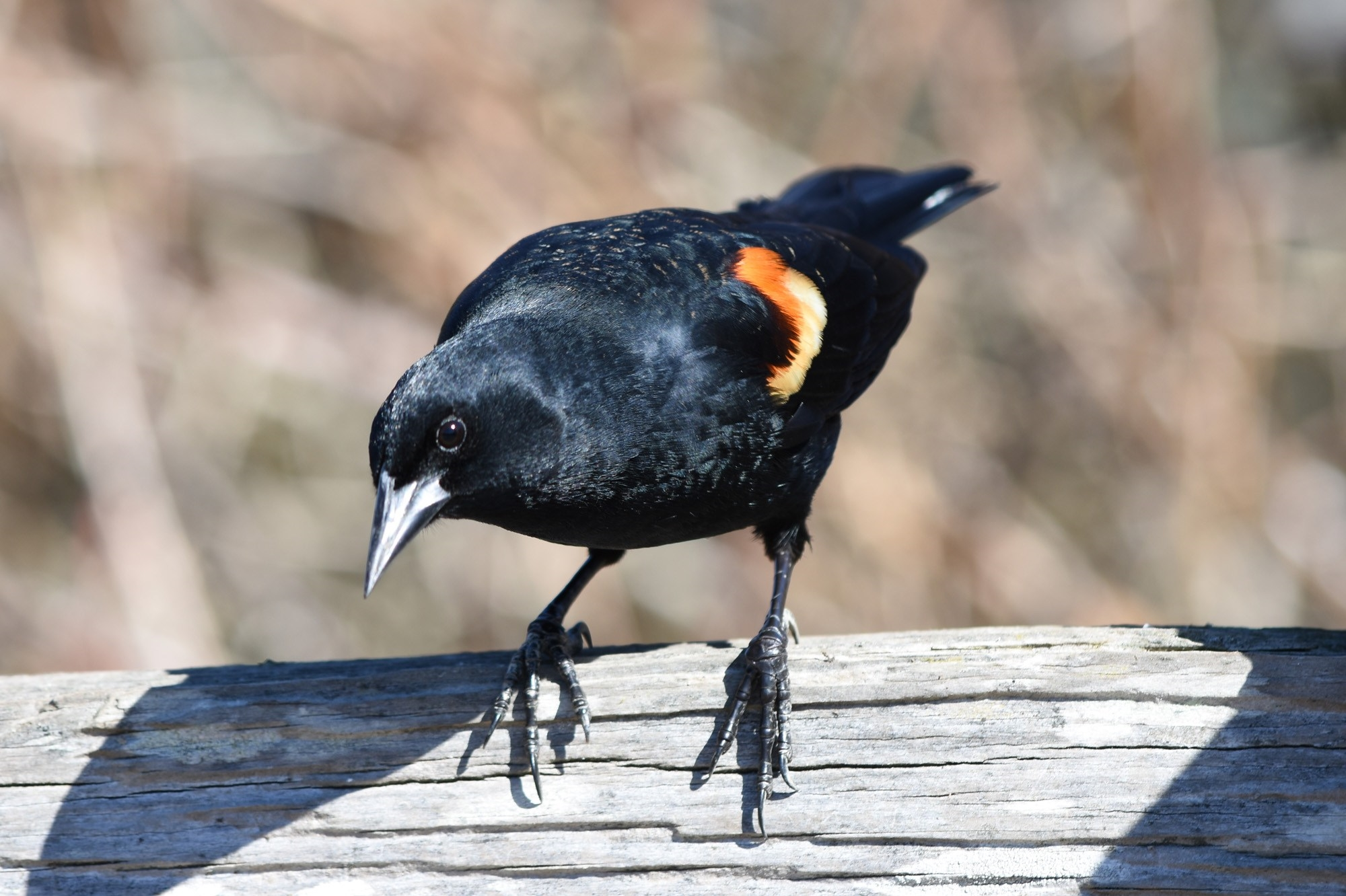2019 03 reifel red winged blackbird